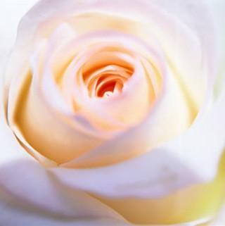 Rose Canvas Art
