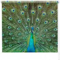 Proud Peacock printed blind