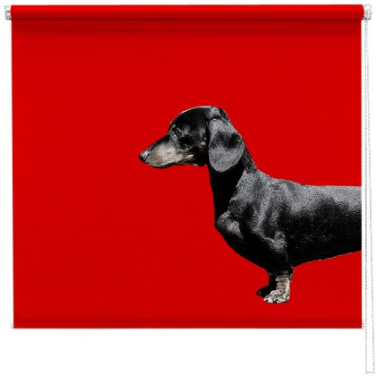Dachshund Sausage dog red blind
