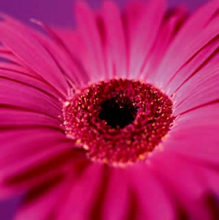 Pink Gerbera Canvas Art